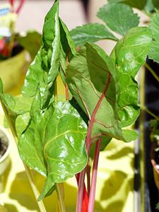 Comment cuisiner les blettes ou les bettes de votre panier - Comment cuisiner les feuilles de blettes ...