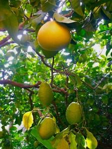 Pamplemousse et citron (Menton)