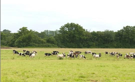 les-deux-vaches-dans-le-pre