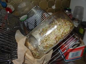 Germoir à graines germées fabriqué avec un bocal en verre récupéré