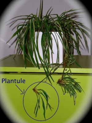 """Résultat de recherche d'images pour """"plantules de chlorophytum"""""""