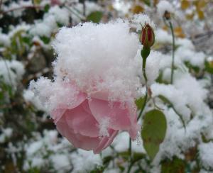 fleurs dans la neige - hiver*