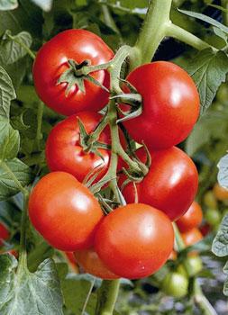 Prot ger son potager sans traitement par l 39 association des cultures consommer durable - Entretien pieds de tomates ...