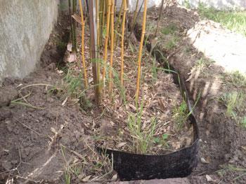 Bambou en terre