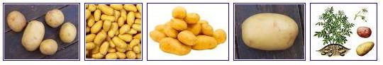 Les pommes de terre soit disant bonnes jeter consommer durable - Pomme de terre germee comestible ...