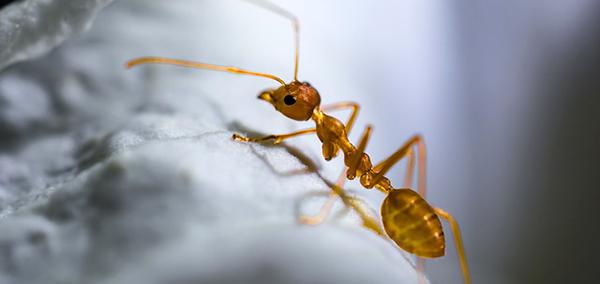 fourmi-rouge-macro-insecte