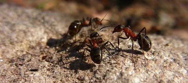fourmis-rouges-insectes-macro-terre