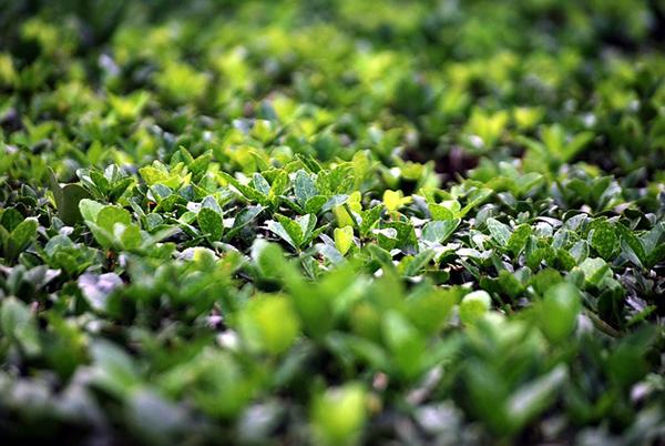 arbuste-buis-buisson
