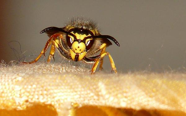 guepe-insecte-piqure-01