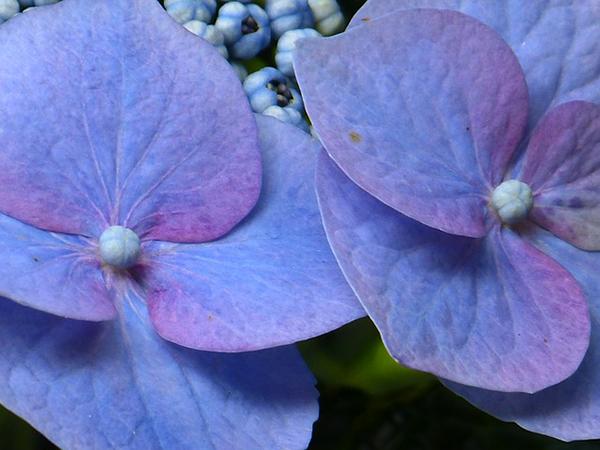 hortensia-fleur-arbuste-01