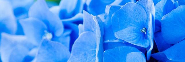 hortensias-bleus-fleurs-ete-arbuste-ban