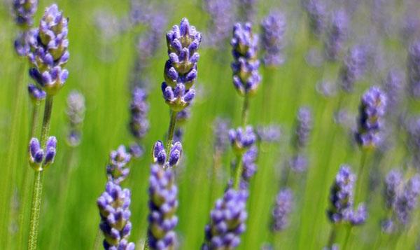 lavande-fleur-plante-provence-france-02