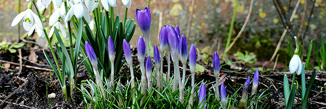 crocus-fleurs-perce-neige-printemps-mars-00-ban