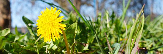 Pissenlit : les mauvaises herbes peuvent éventuellement être mises dans le compost © Shutterstock http://www.shutterstock.com/pic-288407762/stock-photo-dandelion-with-green-leaves-on-a-sunny-day.html