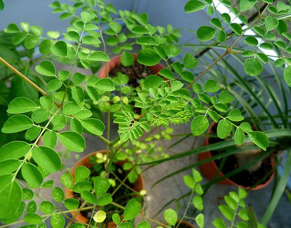 moringa, semis, bouture