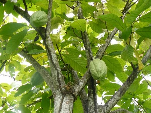 arbre amazonie cacao