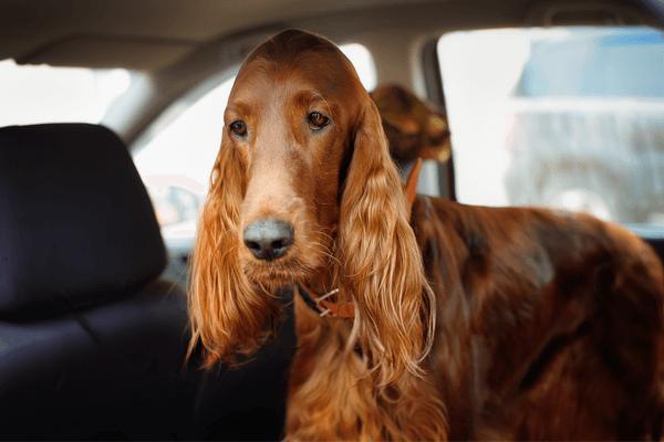 chien malade en voiture